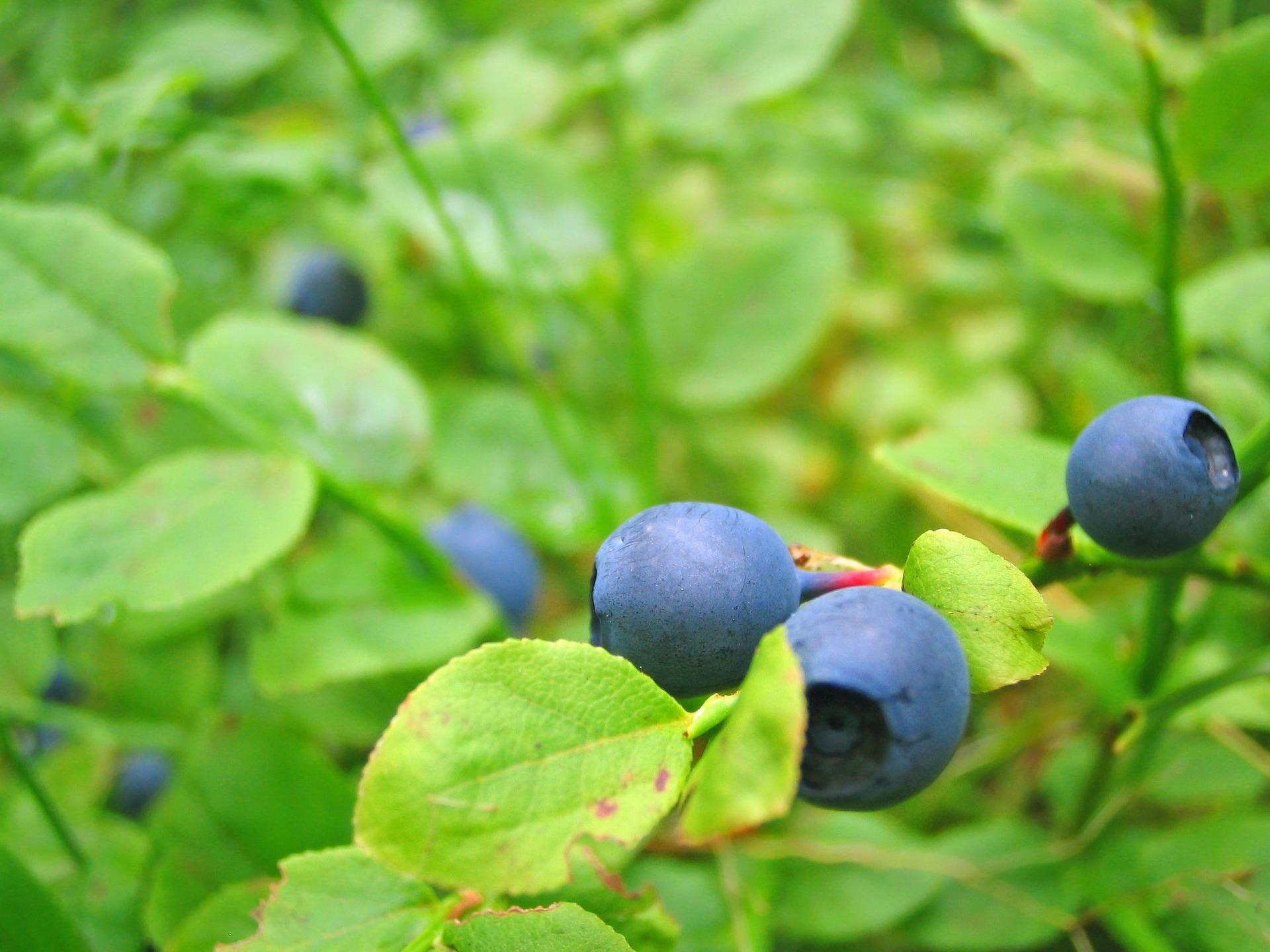 blueberries-635455_1920