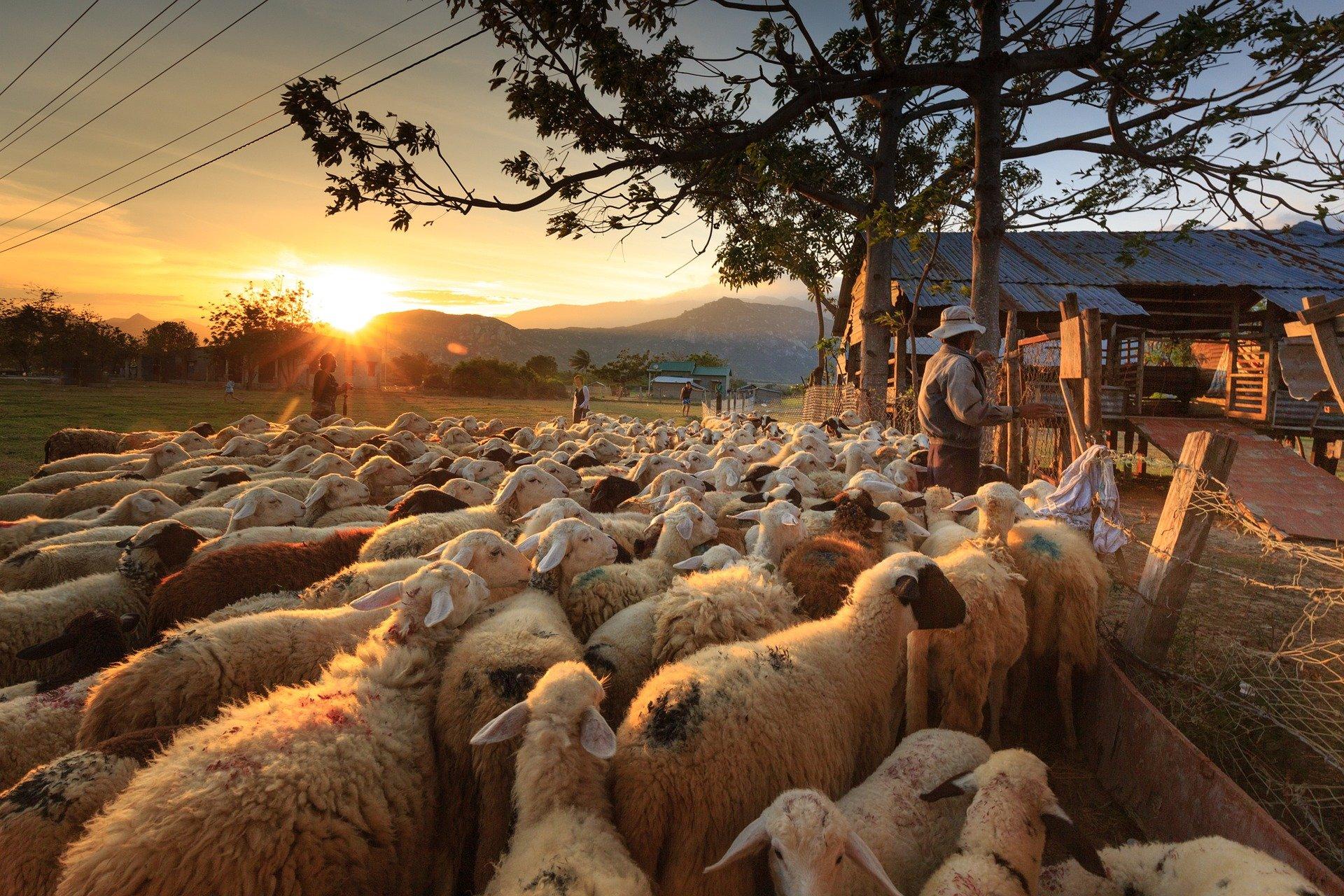 sheep-3023520_1920